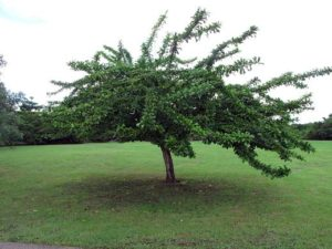 Calabash_Tree_edited-1